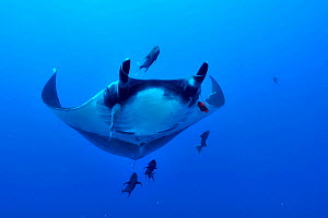 Giant manta ray (manta birostris) swimming in open water surrounded with Black jacks / trevally (Caranx lugubris) and a Clarion angelfish (Holacanthus clarionensis) Revillagigedo islands, Mexico. Paci...  -  Pascal Kobeh