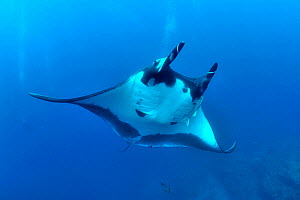 Divers behind a Giant manta ray (manta birostris) with two Remoras (Remora remora) attached its body and surrounded with Black jacks / trevally (Caranx lugubris) and a Clarion angelfish (Holacanthus c...  -  Pascal Kobeh