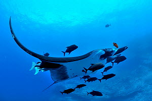 Giant manta ray (manta birostris) with two Remoras (Remora remora) attached its body and surrounded with Black jacks / trevally (Caranx lugubris) and a Clarion angelfish (Holacanthus clarionensis)  Re...  -  Pascal Kobeh