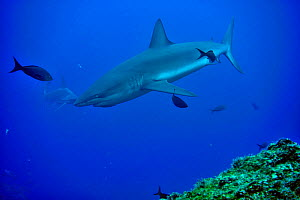 Silky shark (Carcharhinus falciformis) with a Scalloped hammerhead (Sphyrna lewini) in the background, Cocos island, Costa Rica. Pacific ocean. - Pascal Kobeh