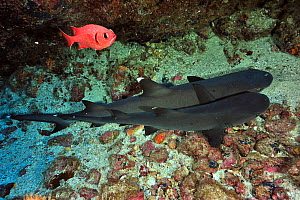 Two White tip sharks (Triaenodon obesus) resting on sea floor, Cocos island, Costa Rica. Pacific ocean. - Pascal Kobeh