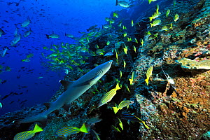 White tip shark (Triaenodon obesus) swimming near the coral reef drop off among a school of Blue-and-gold snappers (Lutjanus viridis), Cocos island, Costa Rica. Pacific ocean. - Pascal Kobeh
