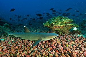 White tip shark (Triaenodon obesus) resting on sea floor, Cocos island, Costa Rica. Pacific ocean. - Pascal Kobeh