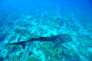 Whale shark (Rhincodon typus) swimming on top of a coral reef, with scars from an injury due to boat propeller,  Maldives. Indian Ocean.  -  Pascal Kobeh