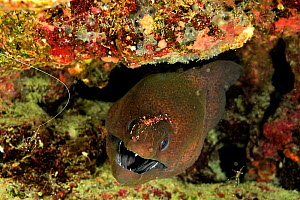 Bruun's cleaner shrimps (Urocaridella antonbruunii) cleaning a giant moray (Gymnothorax javanicus) Maldives. Indian Ocean.  -  Pascal Kobeh
