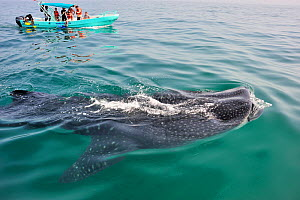 Whale shark (Rhincodon typus) mouth open feeding on plankton at the surface with tourists watching from boat, Yucatan peninsula, Mexico. Caribbean.  -  Pascal Kobeh