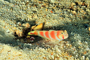 Red-banded shrimp (Alpheus randalli) and Pinkbar goby (Amblyeleotris aurora) symbiotic pair with goby protecting shrimp as it digs.  Maldives. Indian Ocean.  -  Pascal Kobeh