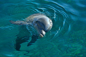 Bottlenose dolphin (Tursiops truncatus) at surface of water, Dolphin Reef, Eilat, Israel. Red Sea. - Pascal Kobeh
