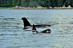 Male Orca / Killer whale (Orcinus orca) with a curved dorsal fin, and female with   young calf at the surface, near coast, Alaska, USA. Gulf of Alaska, Pacific ocean. - Pascal Kobeh