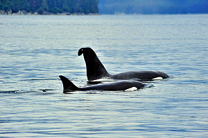Male Orca / Killer whale (Orcinus orca) with a curved dorsal fin, and female  at the surface, near coast, Alaska, USA. Gulf of Alaska, Pacific ocean. - Pascal Kobeh