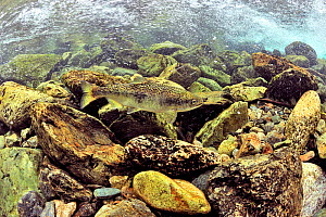 Rainbow trout / salmon trout (Oncorhynchus mykiss) migrating up river to spawn, Alaska, USA.  -  Pascal Kobeh