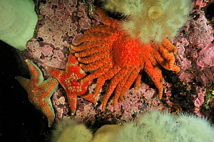 Sunflower sea star (Pycnopodia helianthoides) and two leather stars (Dermasterias imbricata) among giant plumrose anemones (Metridium giganteum), Alaska, USA, Gulf of Alaska. Pacific ocean.  -  Pascal Kobeh