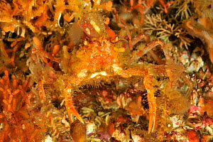 Slender / Graceful decorated crab (Oregonia gracilis), Alaska, USA, Gulf of Alaska. Pacific ocean. - Pascal Kobeh