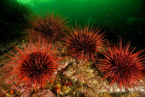 Underwater reef covered with a colony of Red sea urchins (Strongylocentrotus franciscanus), Alaska, USA, Gulf of Alaska. Pacific ocean.  -  Pascal Kobeh