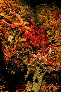 Buffalo sculpin (Enophrys bison) red morph, feeding on another sculpin, Alaska, USA, Gulf of Alaska. Pacific ocean.  -  Pascal Kobeh