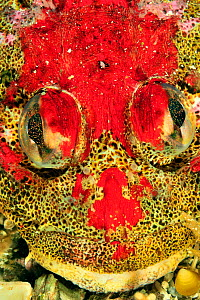 Close-up of the head of a Red Irish lord (Hemilepidotus hemilepidotus), Alaska, USA, Gulf of Alaska. Pacific ocean.  -  Pascal Kobeh