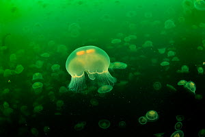 Multitudes of Moon jellyfish (Aurelia labiata), Alaska, USA, Gulf of Alaska. Pacific ocean. - Pascal Kobeh
