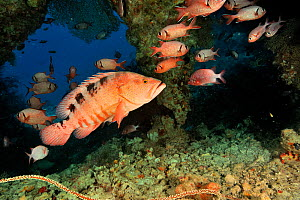 Saddle grouper / Sixspot rockcod (Cephalopholis sexmaculata) with White-edged soldierfish (Myripristis murdjan) in a cave,  Maldives. Indian Ocean.  -  Pascal Kobeh