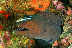 Two Bluestreak cleaner wrasses (Labroides dimidiatus) one a juvenile, cleaning a Giant moray (Gymnothorax javanicus) Maldives. Indian Ocean.  -  Pascal Kobeh