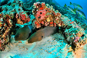 Two Giant morays (Gymnothorax javanicus) coming out of their burrows on coral reef, with Oriental sweetlips (Plectorhinchus orientalis) on background,  Maldives. Indian Ocean.  -  Pascal Kobeh