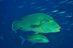 Napoleonfish (Cheilinus undulatus) with Bluefin trevally / jack (Caranx melampygus). The Bluefin jack feeding on smaller fish which are too small to be prey for the Napoleonfish. Maldives. Indian Ocea... - Pascal Kobeh