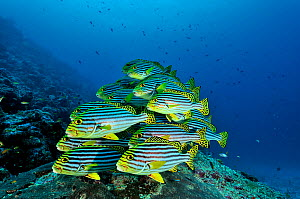 School of Oriental sweetlips (Plectorhinchus orientalis) at a cleaning station, Maldives. Indian Ocean.  -  Pascal Kobeh