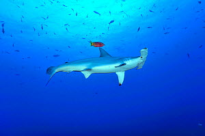 Scalloped hammerhead (Sphyrna lewini) with a Mexican hogfish (Bodianus diplotaenia) which occasionally act as cleaner, Cocos Island , Costa Rica. Pacific Ocean. - Pascal Kobeh