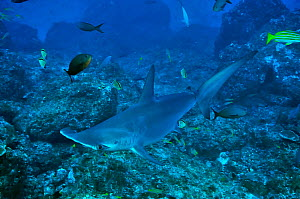 Scalloped hammerhead (Sphyrna lewini) at cleaning station, cleaned by Barberfish / blacknosed butterflyfish (Johnrandallia nigrirostris), Cocos Island , Costa Rica. Pacific Ocean. - Pascal Kobeh
