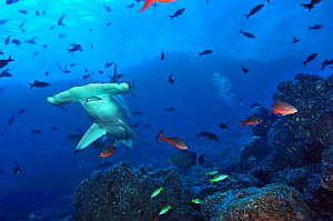 Scalloped hammerhead (Sphyrna lewini) in front of a reef  with diver, Cocos island, Costa Rica. Pacific ocean. January 2011. - Pascal Kobeh
