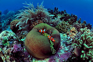 Indonesian coral reef with a magnificent sea anemone (Heteractis magnifica) and false clown anemonefish (Amphiprion ocellaris), hydroids and hard corals, Manado, Indonesia. Sulawesi Sea. - Pascal Kobeh