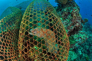Honeycomb moray (Gymnothorax favagineus) trapped in a fisherman's trap, Daymaniyat islands, Oman. Gulf of Oman. - Pascal Kobeh