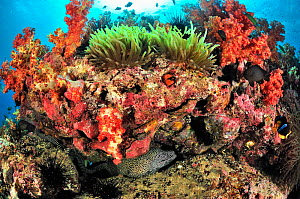 Honeycomb moray (Gymnothorax favagineus) and Zebra moray (Gymnomuraena zebra) in a crack under a part of the reef covered with soft corals (Dendronephthya ) and with a magnificent sea anemone (Heterac... - Pascal Kobeh