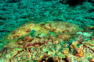 Two Pharaoh cuttlefish (Sepia pharaonis) mating, Daymaniyat islands, Oman. Gulf of Oman.  -  Pascal Kobeh