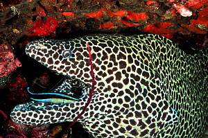 Honeycomb moray (Gymnothorax favagineus) having its mouth cleaned by a common cleanerfish (Labroides dimidiatus), Daymaniyat islands, Oman. Gulf of Oman. - Pascal Kobeh