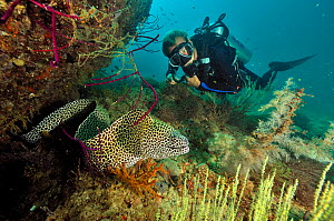 Diver with a honeycomb moray (Gymnothorax favagineus) out of its hole, Daymaniyat islands, Oman. Gulf of Oman. October 2010. - Pascal Kobeh