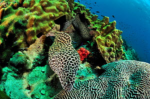 Honeycomb moray (Gymnothorax favagineus) out of its burrow / its hole close to a brain coral (Platygyra lamellina) with another one behind it, Daymaniyat islands, Oman. Gulf of Oman. - Pascal Kobeh