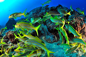 Mexican goatfish (Mulloidichthys dentatus) and Blue-and-gold snappers (Lutjanus viridis) in a feeding frenzy  over Triggerfish eggs,  Baja California peninsula, Mexico. Sea of Cortez.  -  Pascal Kobeh