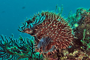 Crown of thorns starfish (Acanthaster planci) eating the polyps of soft corals,  Baja California peninsula, Mexico. Sea of Cortez. - Pascal Kobeh