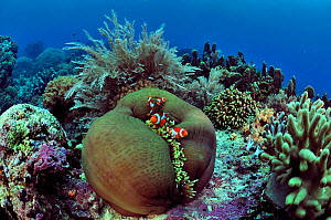 Indonesian coral reef with Magnificent sea anemone (Heteractis magnifica) and False clown anemonefish (Amphiprion ocellaris), hydroids and hard corals, Manado, Indonesia. Sulawesi Sea. - Pascal Kobeh