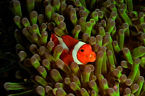 False clown anemonefish (Amphiprion ocellaris) with a parasite, in Magnificent sea anemone (Heteractis magnifica), Manado, Indonesia. Sulawesi Sea. - Pascal Kobeh