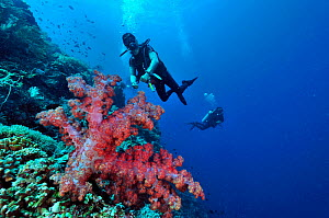 Divers swimming over coral drop off with soft coral (Dendronephthya) on foreground, Manado, Indonesia. Sulawesi Sea. May 2010. - Pascal Kobeh