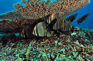 Small school of Shaded batfish (Platax pinnatus) resting under Table coral (Acropora) Manado, Indonesia. Sulawesi Sea. - Pascal Kobeh