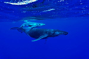 Female Humpback whale (Megaptera novaeangliae) with its very young calf at the surface, Rurutu island, Australs Archipelago, French Polynesia. Pacific Ocean. - Pascal Kobeh