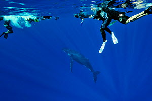 Divers at the surface watching Humpback whale (Megaptera novaeangliae) in the water, Rurutu island, Australs Archipelago, French Polynesia. Pacific Ocean. August 2010. - Pascal Kobeh