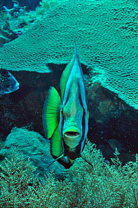 Shaded / Long-finned batfish (Platax pinnatus) Palau. Philippine Sea. - Pascal Kobeh