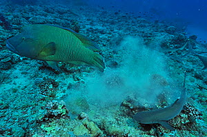 Napoleonfish / Maori wrasse (Cheilinus undulatus) and Whitetip reef shark (Triaenodon obesus) on bottom of the reef,  Palau. Philippine Sea. - Pascal Kobeh