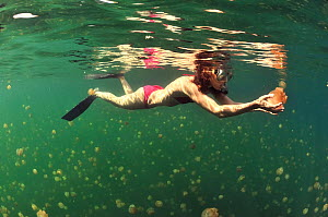 Woman swimming in a marine lake among thousands of Golden jellyfish (Mastigias papua etpisoni), subspecies of the spotted jellyfish living in the nearby lagoons.  Eil Malk island, Koror, Palau. Philip...  -  Pascal Kobeh