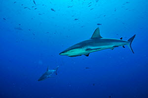 Grey reef sharks (Carcharhinus amblyrhinchos) in open water. The shark on foreground has a Striped remora (Echeneis naucrates) under its head,  Palau. Philippine Sea. - Pascal Kobeh