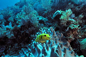 Blackspotted pufferfish (Arothron nigropunctatus) on a Leather coral,  Mayotte. Indian Ocean. - Pascal Kobeh