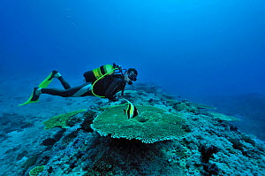 Diver above a coral reef with Table corals (Acropora) and Moorish idol (Zanclus cornutus) Mayotte. Indian Ocean. February 2010.  -  Pascal Kobeh